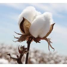 Niche market opens for cotton industry